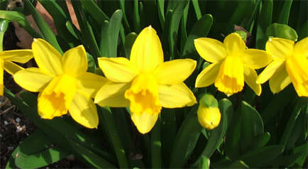Tête-à-Tête Daffodils welcome Spring!